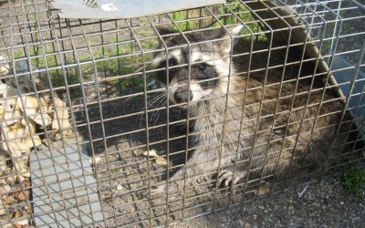 New Legislation to Capture Raccoons Implemented