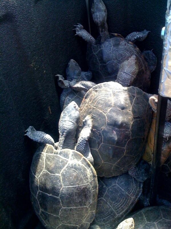 Turtles Invade JFK Runway