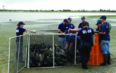 USDA, Activists Clash Over Geese Euthanization