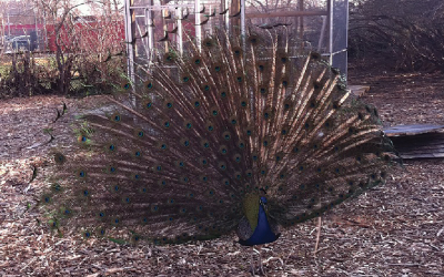 Kevin the Peacock Home Just in Time For Classes