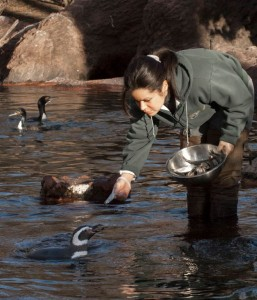 A keeper works at the Bronx Zoo, which is marking the beginning of National Keeper Awareness week beginning Saturday, July 20.