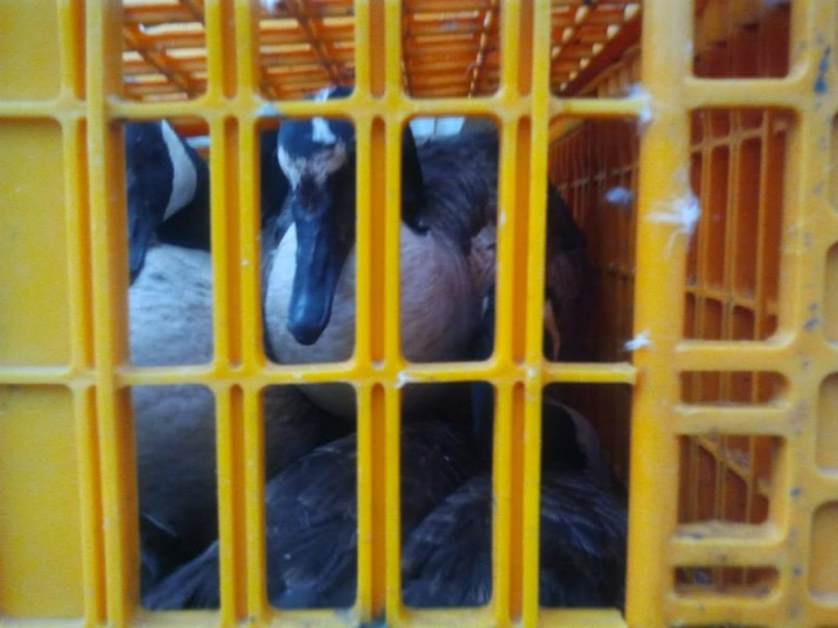 Jamaica Bay Geese Killings Enrage Animal Rights Advocates, Defended By Feds