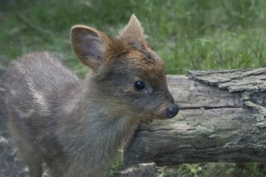 A female pudu fawn was born at the Queens Zoo in May. Pudus rank as one of the world's smallest species of deer. This girl weighed just one pound at birth.
