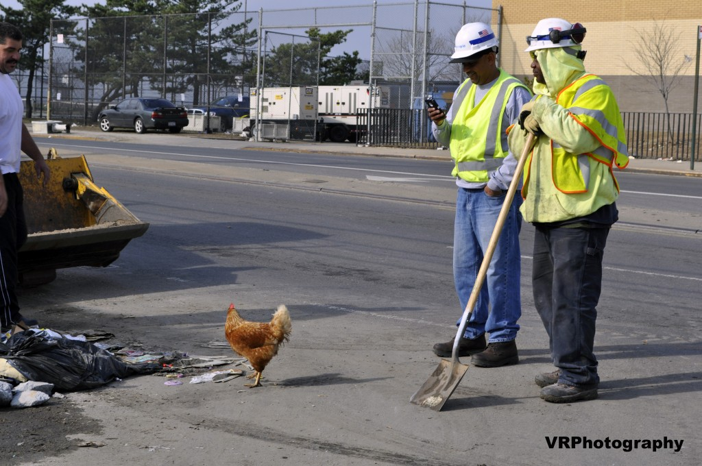 Do you guys still think it matters who crossed the road first? Chickens on the road, fish in fountains–the storm did it's best to render all living creatures homeless Photo Courtesy Victoria Holt/VRPhotography
