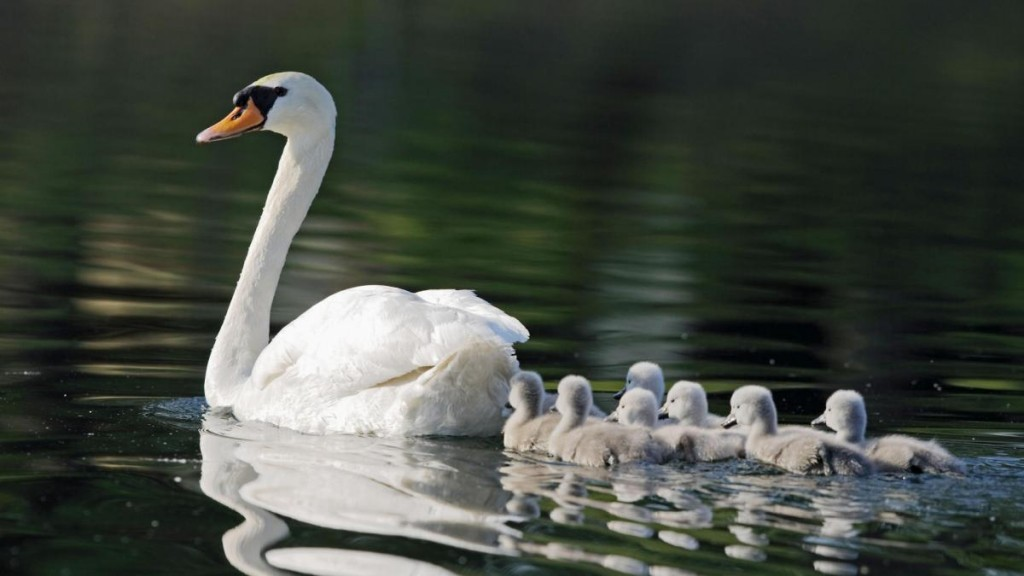 Elected officials and animal rights advocates are calling for a moratorium on the state's plan to eradicate all 2,200 wild mute swans by the year 2025.  File Photo