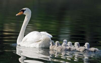 Lawmakers looking to stop mute swan killings