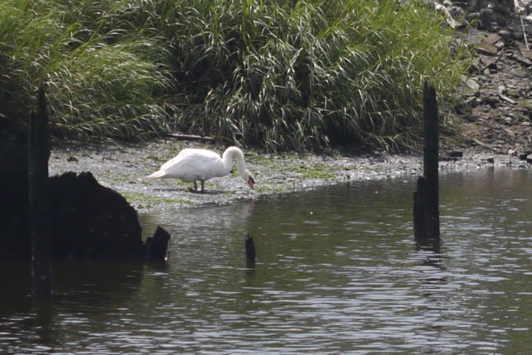The Swan Situation