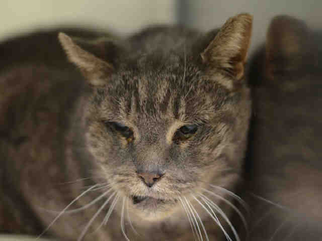 Shelby was on Tuesday/Wednesday's At Risk list online, published daily at 6 pm by Animal Care Centers of NYC.  The ten-year old neutered male would die around noon on Wednesday if not adopted.  Full descriptions of all ailments, known history, and documented behaviors are available with each animal profile on the At Risk list, available at nycacc.org.  Photo Courtesy of nycacc.org