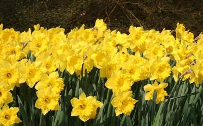 Ulrich Helps Sponsor  Daffodil Giveaway