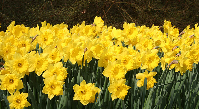 Ulrich Helps Sponsor Daffodil Giveaway | The Forum Newsgroup